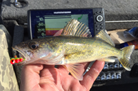 image of yearling size walleye