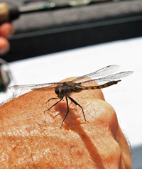 image of dragon fly on joel clusiau's hand
