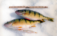 image of giant perch on ice
