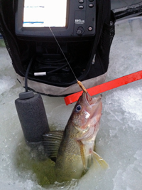 image of Walleye in ice fishing hole