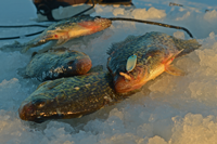 image of Lindy Quiver Spoon and crappies