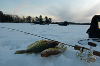 image of crappies on ice