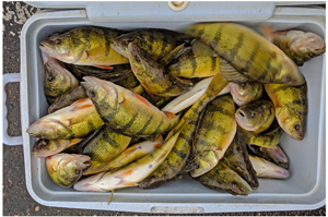 image of cooler fileed with perch