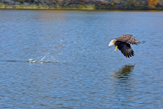 image of bald eagle capturing fish