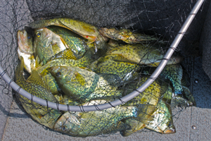 image of crappies in net