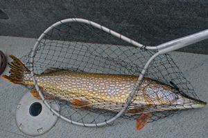 image of northern pike in net