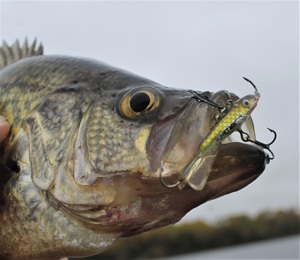 image of fall crappie caught on puppet minnow