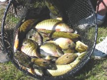 image of basket filled with bass and panfish
